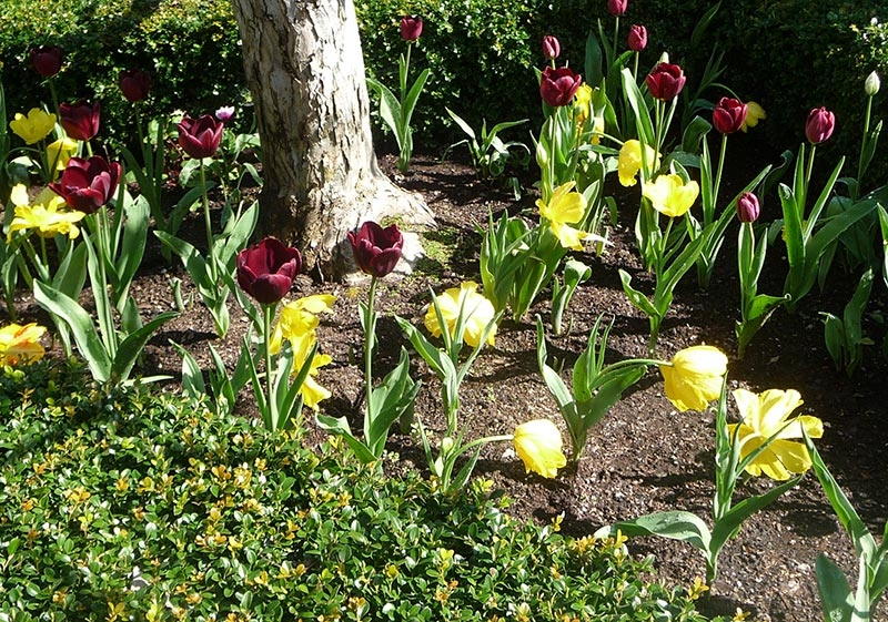 018-mixed-winfield-spring-tulips-meander