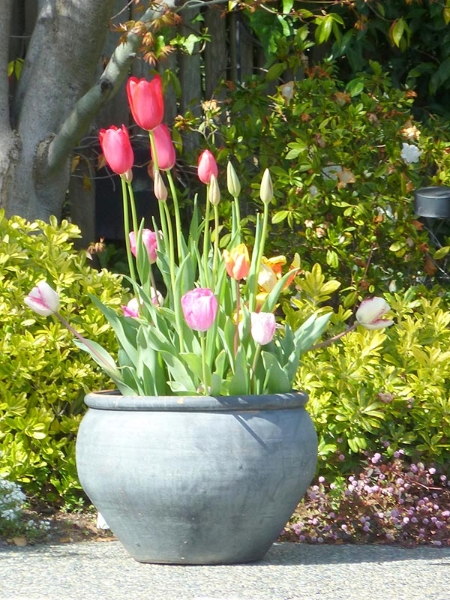 019-georges-dutch-tulips-meander